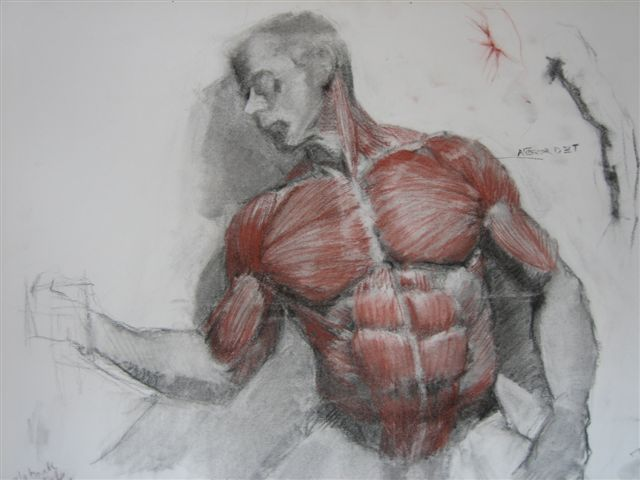 Muscle structure of man